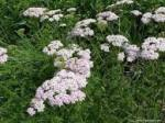 Achillea millefolium Common Yarrow