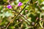 Agalinis tenuifolia Slender-leaved False Foxglove