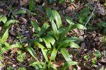 Allium tricoccum Wild Leek