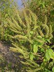 Ambrosia trifida Giant Ragweed