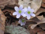 Anemone americana Round-lobed Hepatica