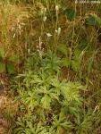 Anemone cylindrica Thimbleweed