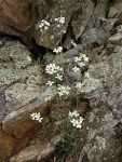 Arabidopsis lyrata Lyre-leaved Rock Cress