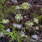 Aralia hispida Bristly Sarsaparilla