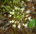 Aralia nudicaulis Wild Sarsaparilla