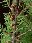Arceuthobium pusillum Eastern Dwarf Mistletoe