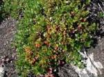 Arctostaphylos uva-ursi Bearberry