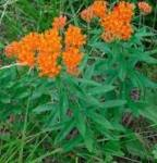 Asclepias tuberosa Butterfly-weed
