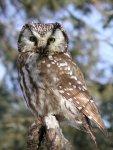 boreal_owl_ann_cook-1