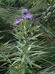 Canadanthus modestus Modest Aster