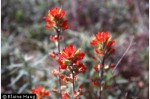 Castilleja coccinea Indian Paintbrush