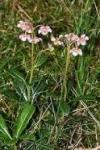 Chimaphila umbellata Pipsissewa