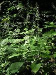 Circaea alpina Alpine Enchanter's Nightshade