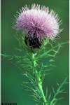 Cirsium discolor Field Thistle