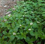 Cornus canadensis Bunchberry