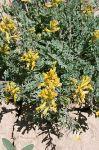 Corydalis aurea Golden Corydalis