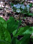 Cynoglossum virginianum Wild Comfrey