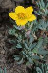 Dasiphora fruticosa Shrubby Cinquefoil