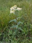Doellingeria umbellata Flat-topped White Aster
