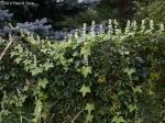 Echinocystis lobata Wild Cucumber