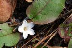 Epigaea repens Trailing Arbutus