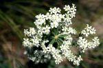 Euphorbia corollata Flowering Spurge