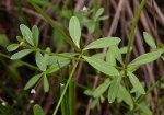 Galium tinctorium Stiff Marsh Bedstraw
