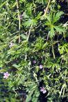Geranium bicknellii Bicknell's Cranesbill