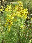Helenium autumnale Sneezeweed
