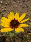Helianthus pauciflorus Stiff Sunflower