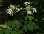 Heracleum lanatum Common Cow Parsnip
