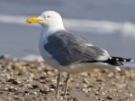 herring_gull_adult_breeding2