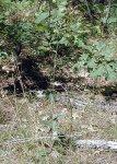 Hieracium scabrum Sticky Hawkweed