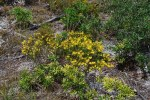 Hypericum boreale Northern St. John's-wort