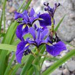 Iris versicolor Harlequin Blueflag