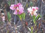 Kalmia polifolia Bog Laurel