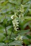 Lathyrus ochroleucus Cream Pea