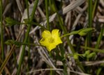 Linum sulcatum Grooved Yellow Flax