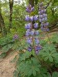 Lupinus perennis Wild Lupine