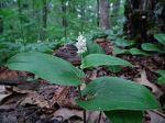 Maianthemum canadense Canada Mayflower