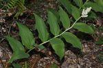 Maianthemum racemosum False Solomon's Seal
