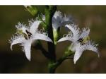 Menyanthes trifoliata Buckbean