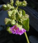 Mirabilis nyctaginea Wild Four O'Clock