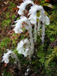 Monotropa uniflora Indian Pipe