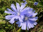 Mulgedium pulchellum Showy Blue Lettuce