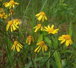 Packera aurea Golden Ragwort