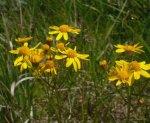 Packera paupercula Balsam Ragwort