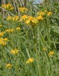 Packera plattensis Prairie Ragwort