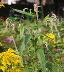 Persicaria lapathifolia Nodding Smartweed