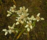 Pseudognaphalium obtusifolium Sweet Everlasting